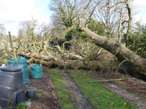 Oak tree down in a storm in February 2014